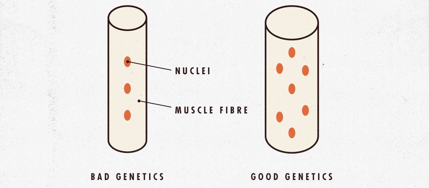 Skinny-fat can depend on muscle fibre genetics
