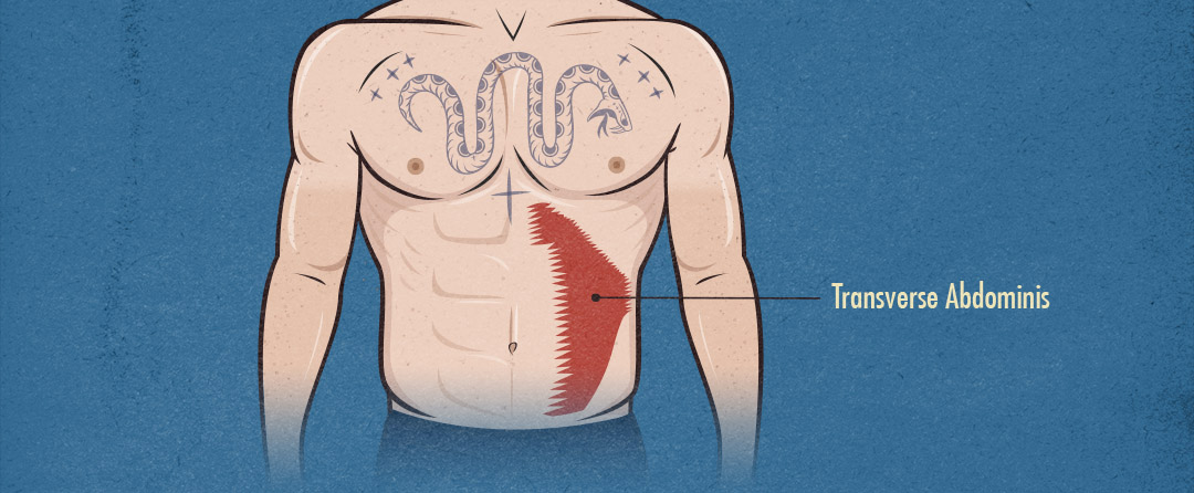 Illustration of the anatomy of the transverse abdominis muscles.