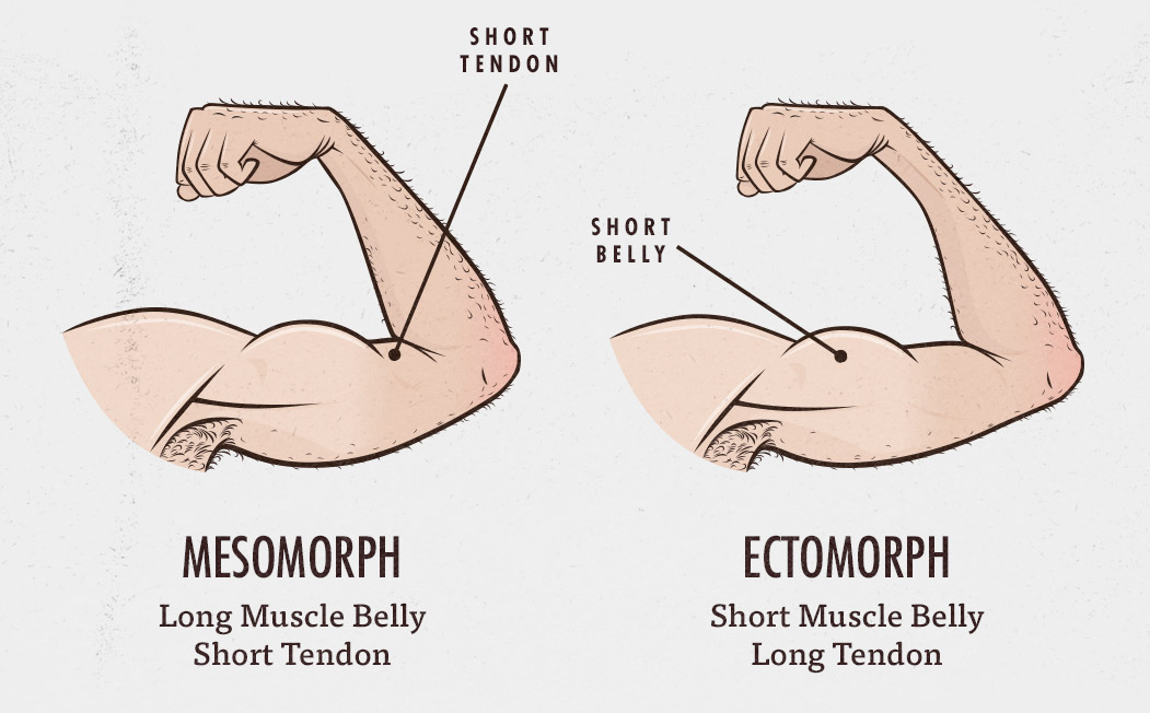 what-body-type-muscle-belly-tendon-length-ectomorph-mesomorph