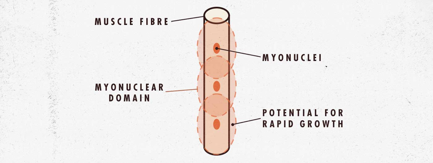 Muscle fibre diagram for newbie gains