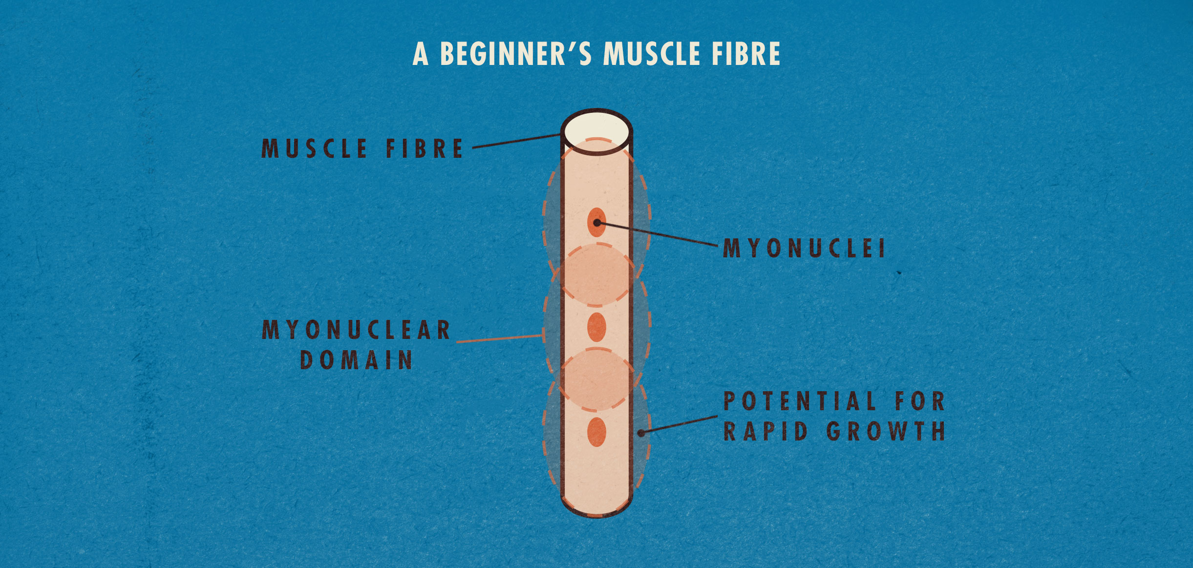 Newbie Gains: A Beginner's Muscle Fibre