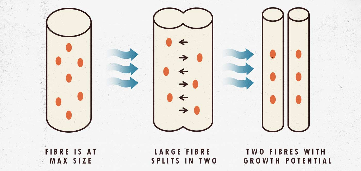 Diagram of muscle fibres splitting into multiple fibres