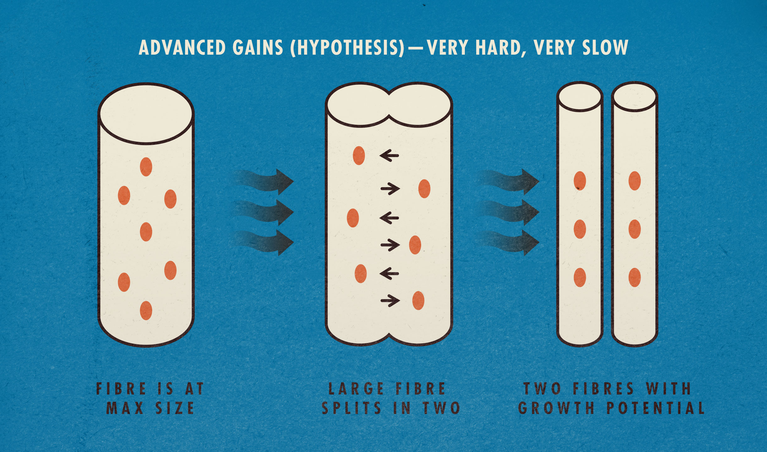 Advanced Muscle Growth Diagram