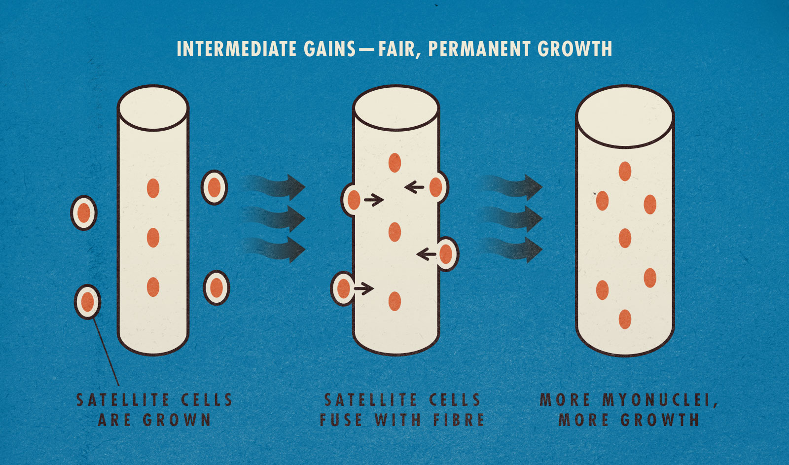 Muscle growth diagram