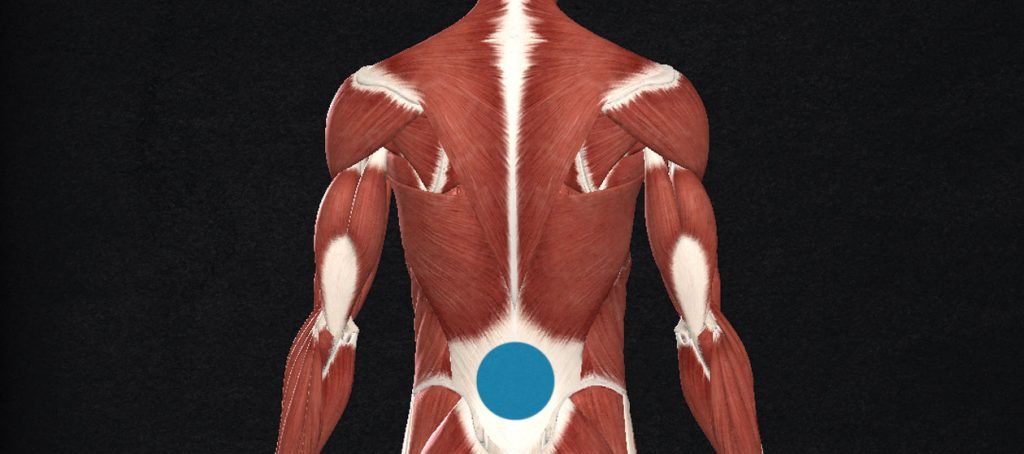 Illustration showing the anatomy of our upper back muscles, focusing on the lats and traps