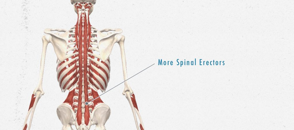 An illustration showing the anatomy of our spinal erectors