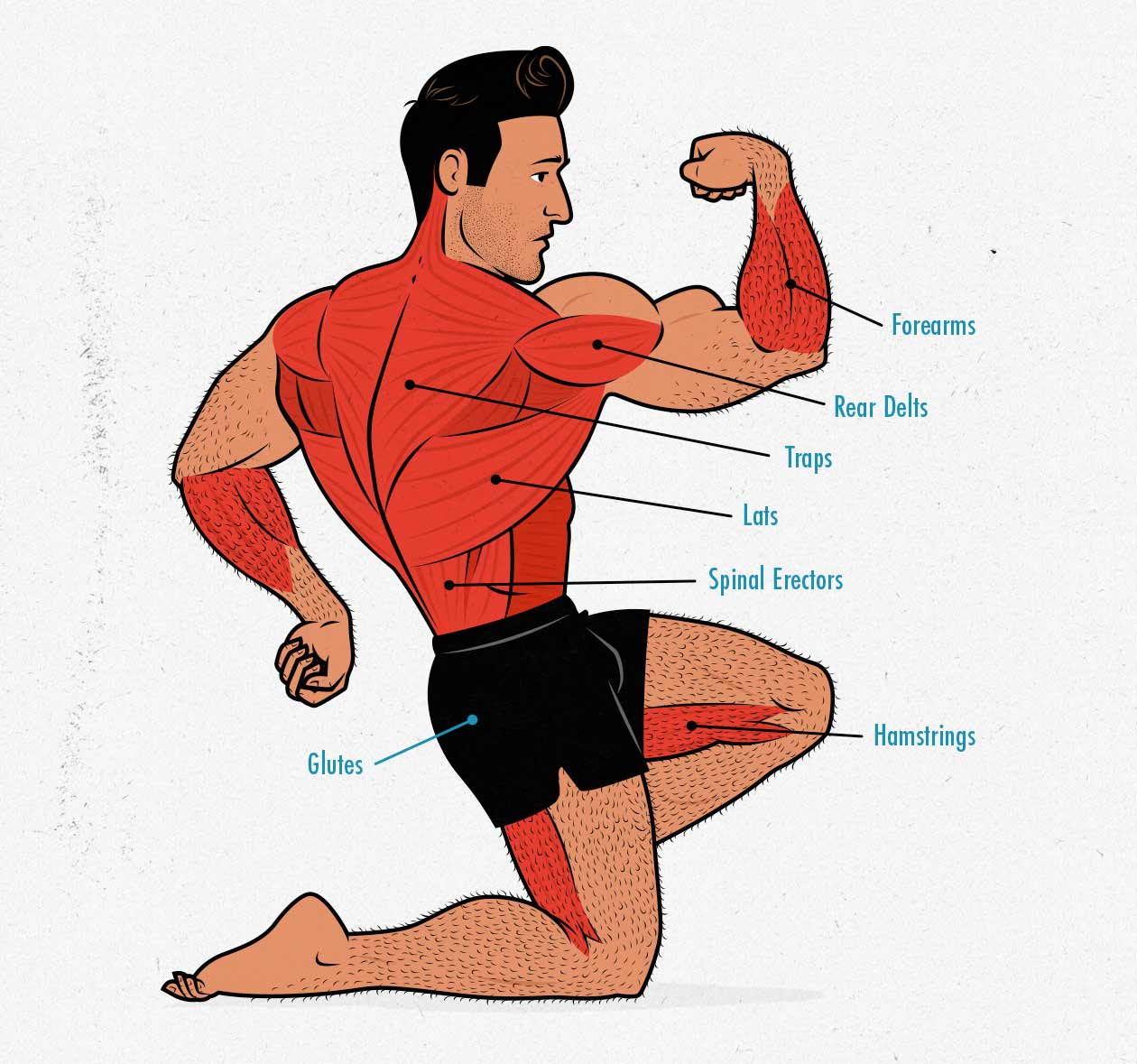 Diagram showing the muscles worked by the deadlift.