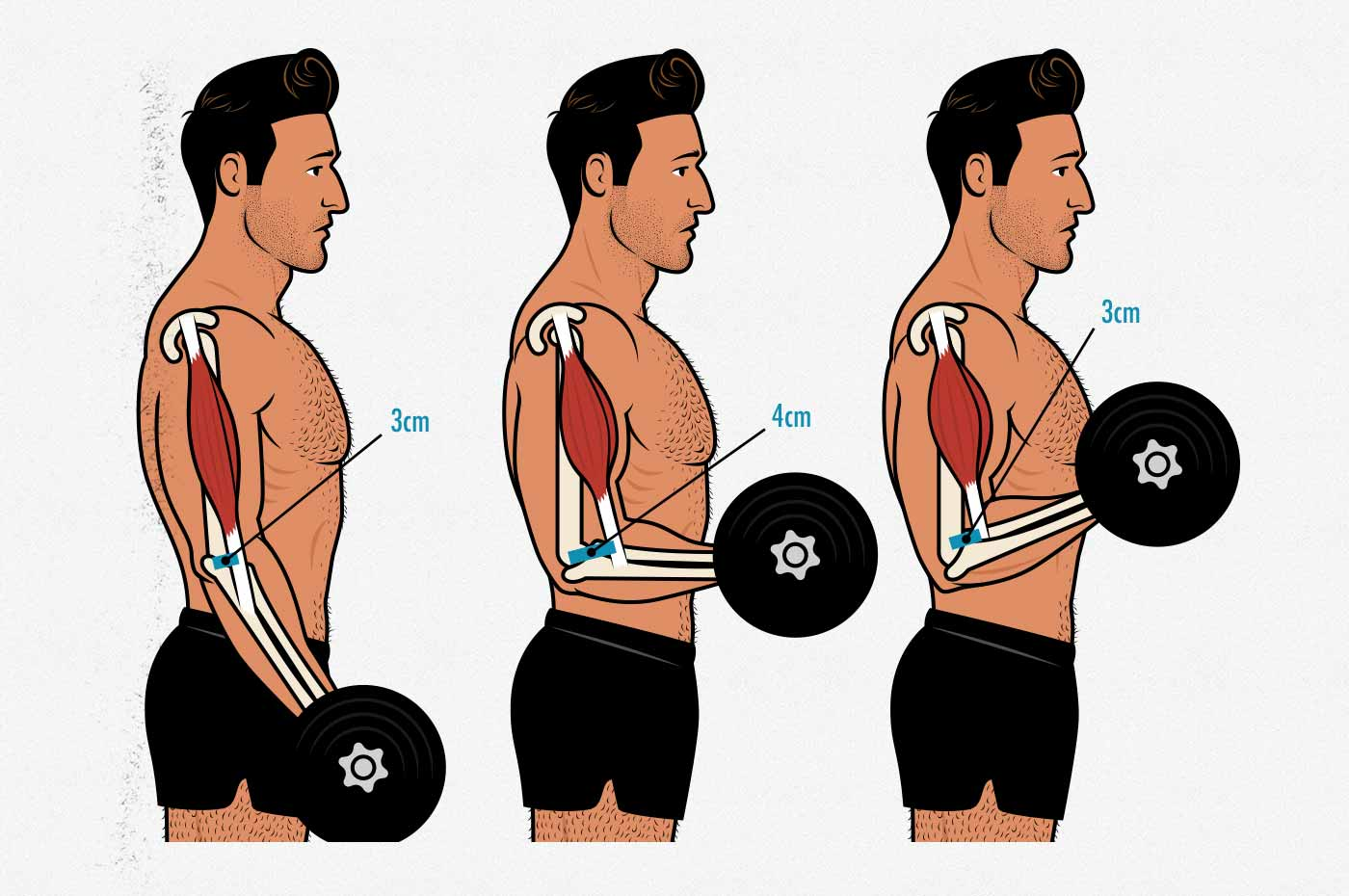 Illustration of the muscle attachment and strength curve of the biceps curl.