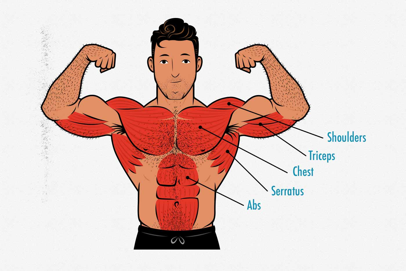 Diagram showing the anatomy and muscles worked by the push-up.