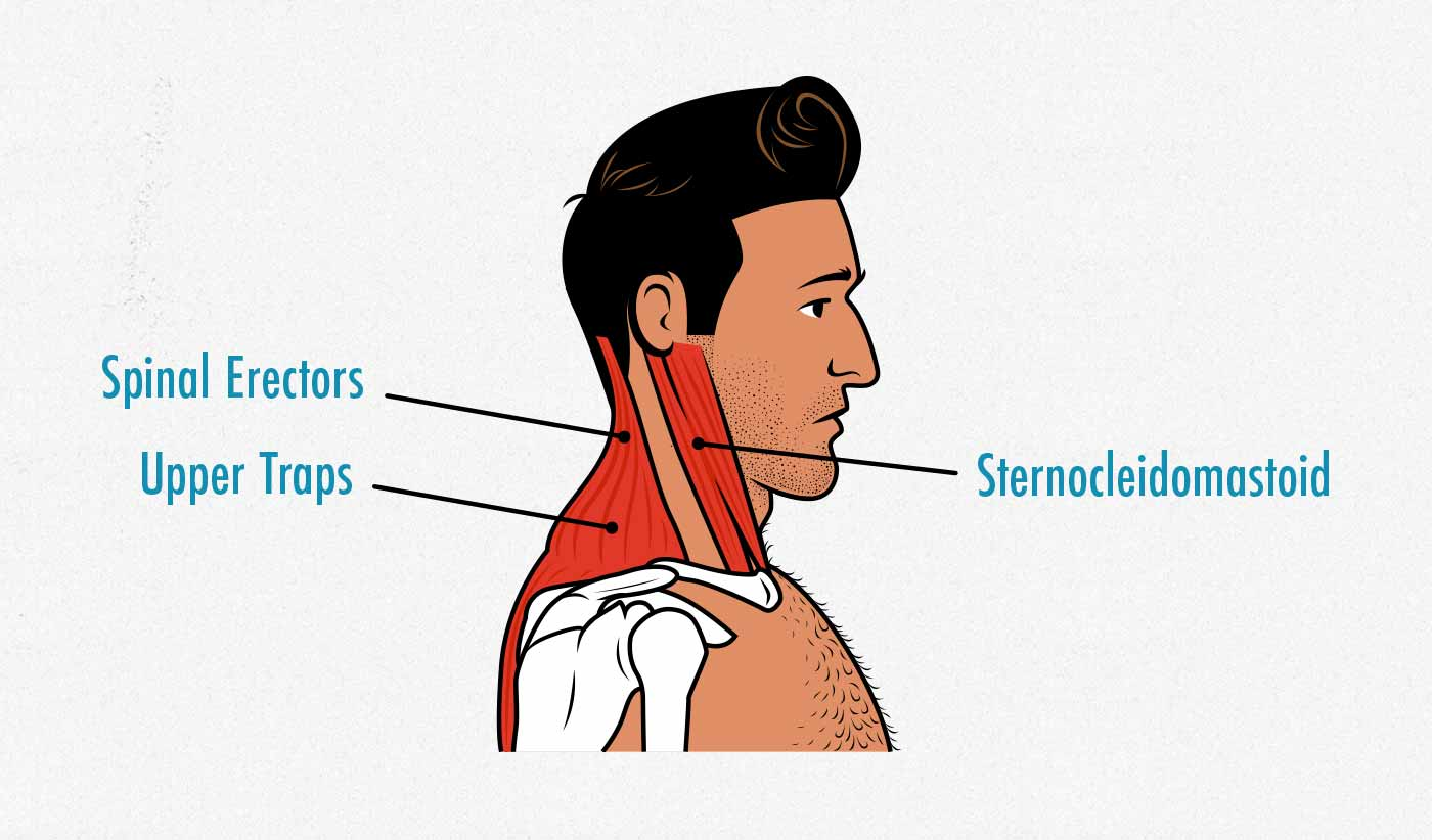 Diagram of the muscles that give us a thicker neck.