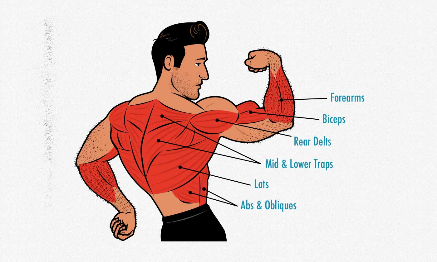Illustration showing the anatomy of the muscles worked by the chin-up (and bodyweight inverted row).