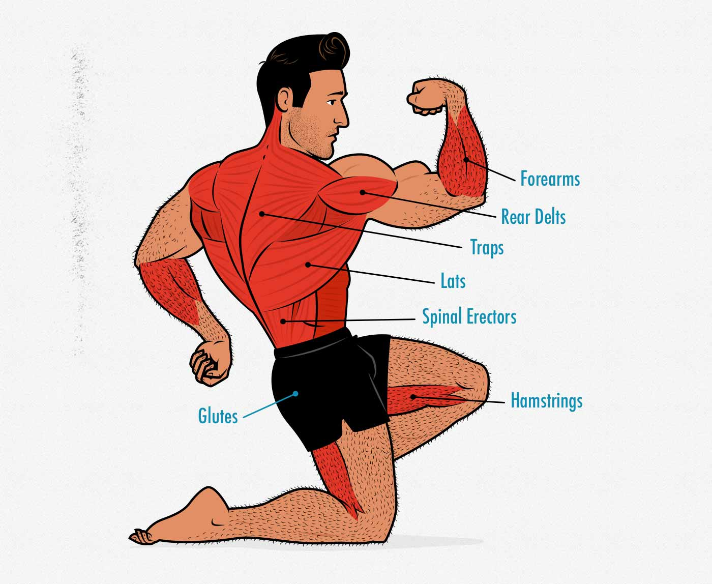 Diagram showing the muscles worked by the bodyweight towel deadlift.