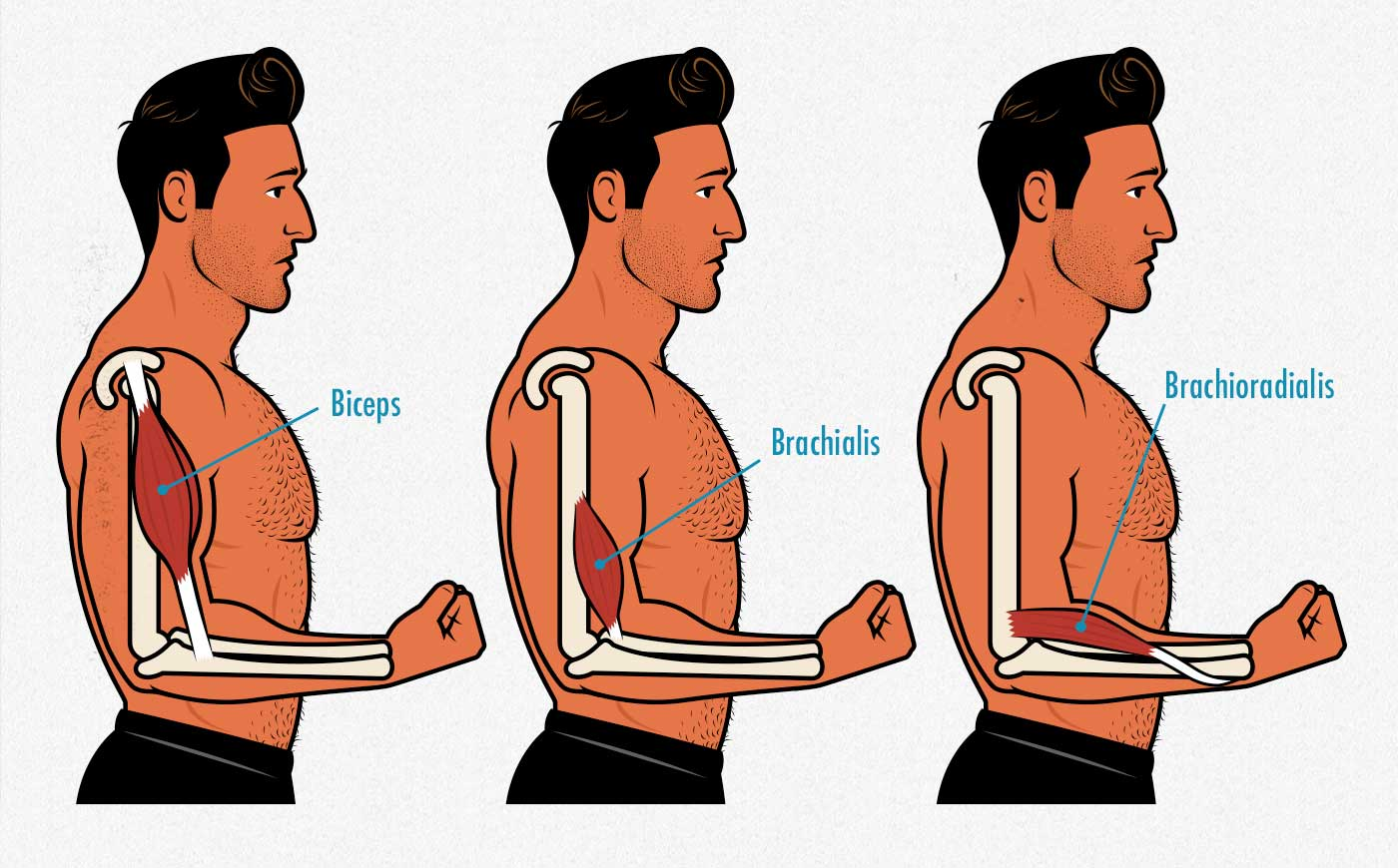 Illustration showing the different elbow flexor muscles, including the brachioradialis forearm muscle.