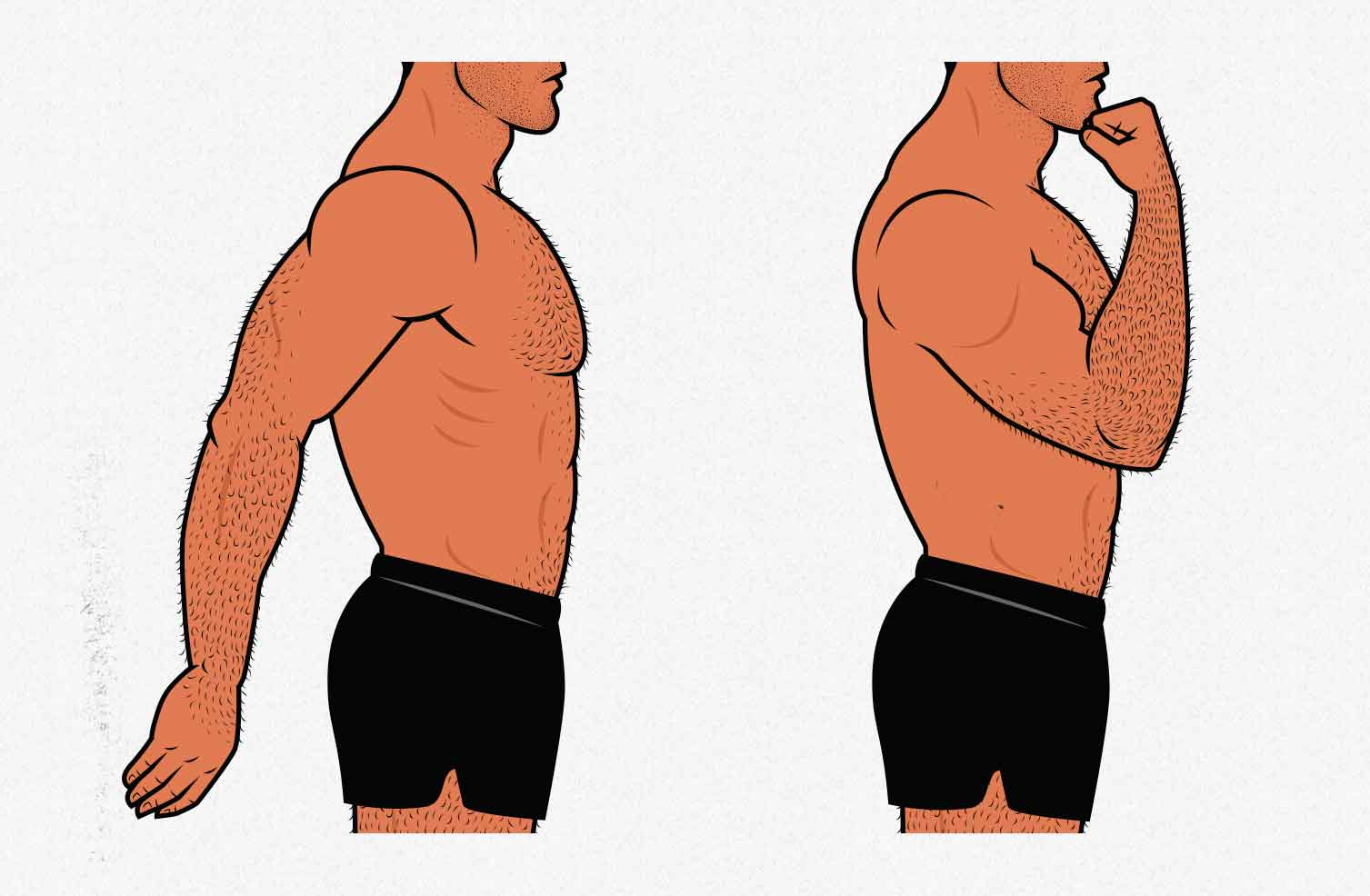 Illustration showing the range of motion of our biceps.