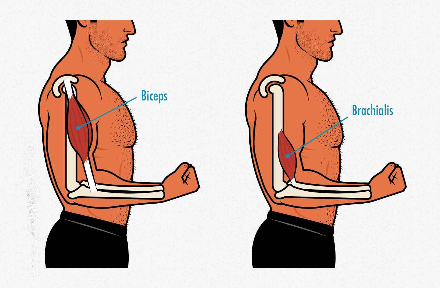 Diagram showing the anatomy of the biceps vs the biceps brachialis as it relates to bodybuilding.